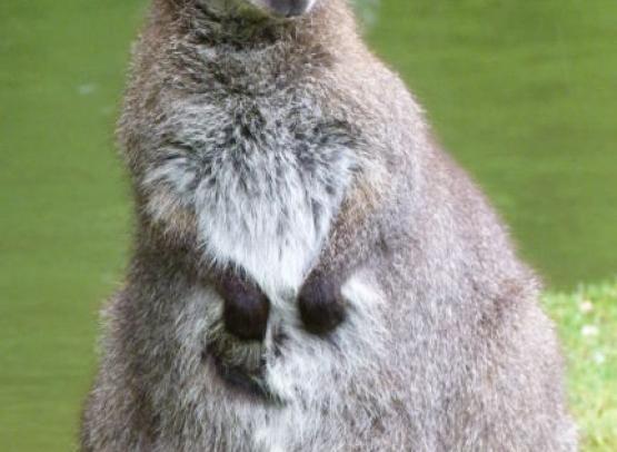 wallaby-2
